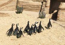 attrazioni zoomarine pinguini